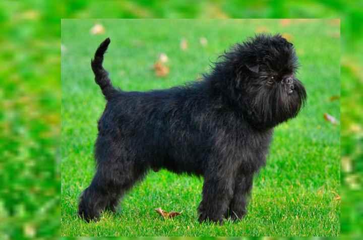 Порода собак аффенпинчер: малый размер и твердый характер обезьяноподобного