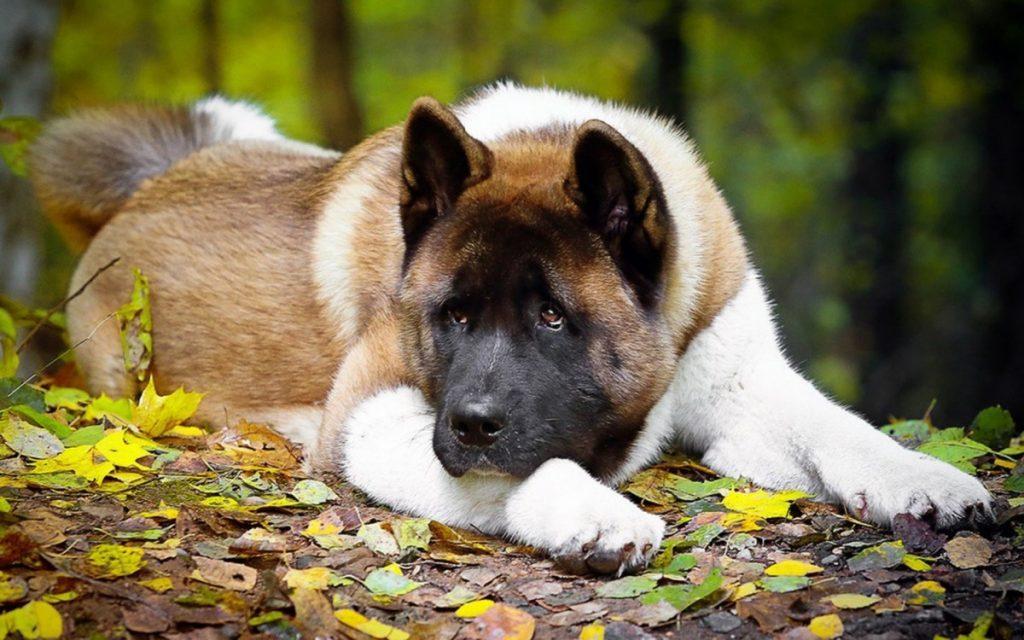 Акита ину собака. описание, особенности, виды, уход, содержание и цена породы акита ину | живность.ру