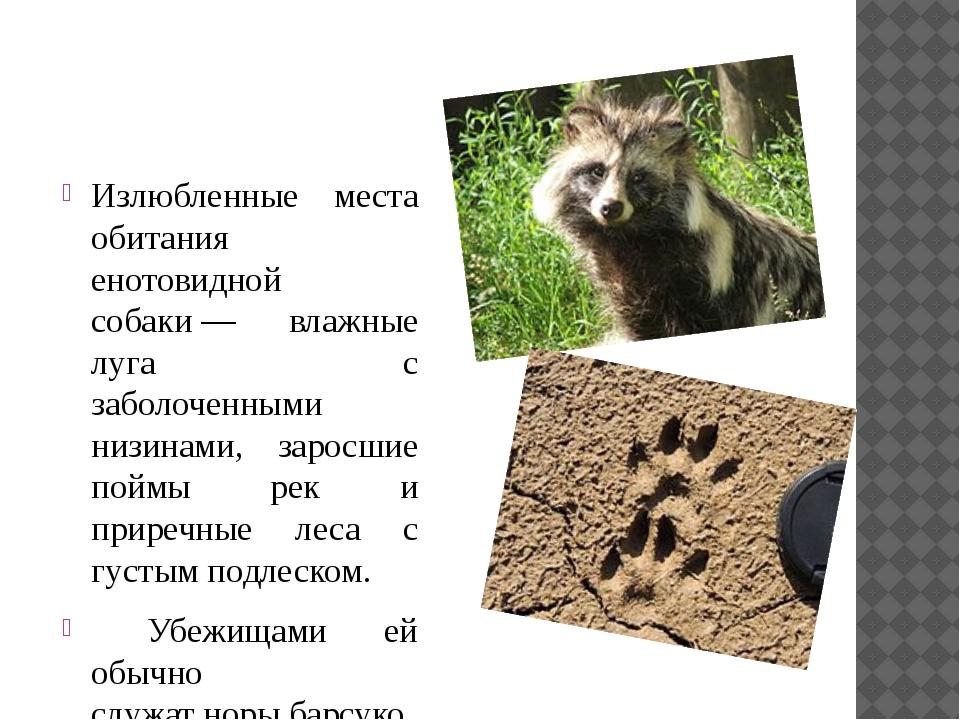 Енотовидная собака: описание, где обитает, чем питается