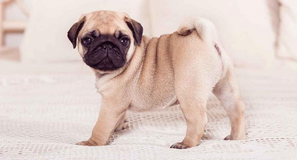 ᐉ породы собак, похожие на мопса - zoovet24.ru