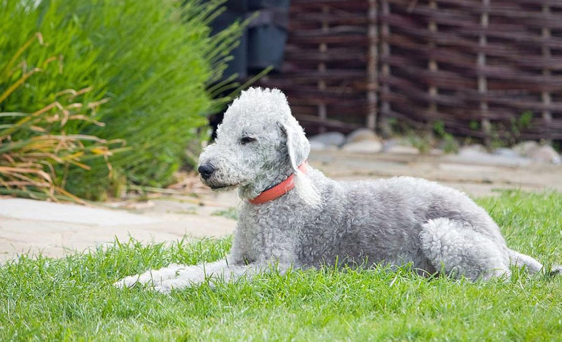 Бедлингтон-терьер: фото и описание породы собак бедлингтон-терьер: фото и описание породы собак