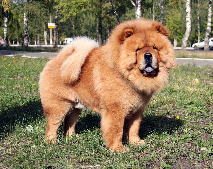 Собака с фиолетовым языком: порода, фото, название