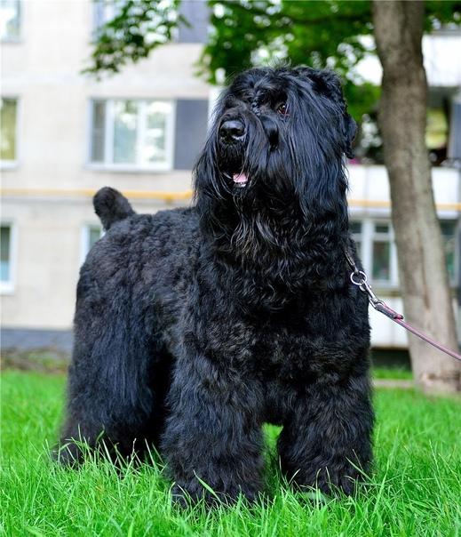 Русский черный терьер: фото и характеристика породы собак русский черный терьер: фото и характеристика породы собак