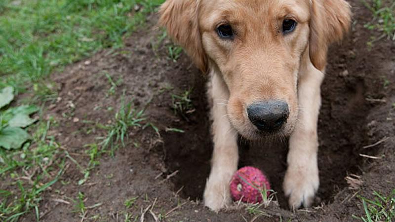 Почему собака роет ямы во дворе: причины и способы их устранения