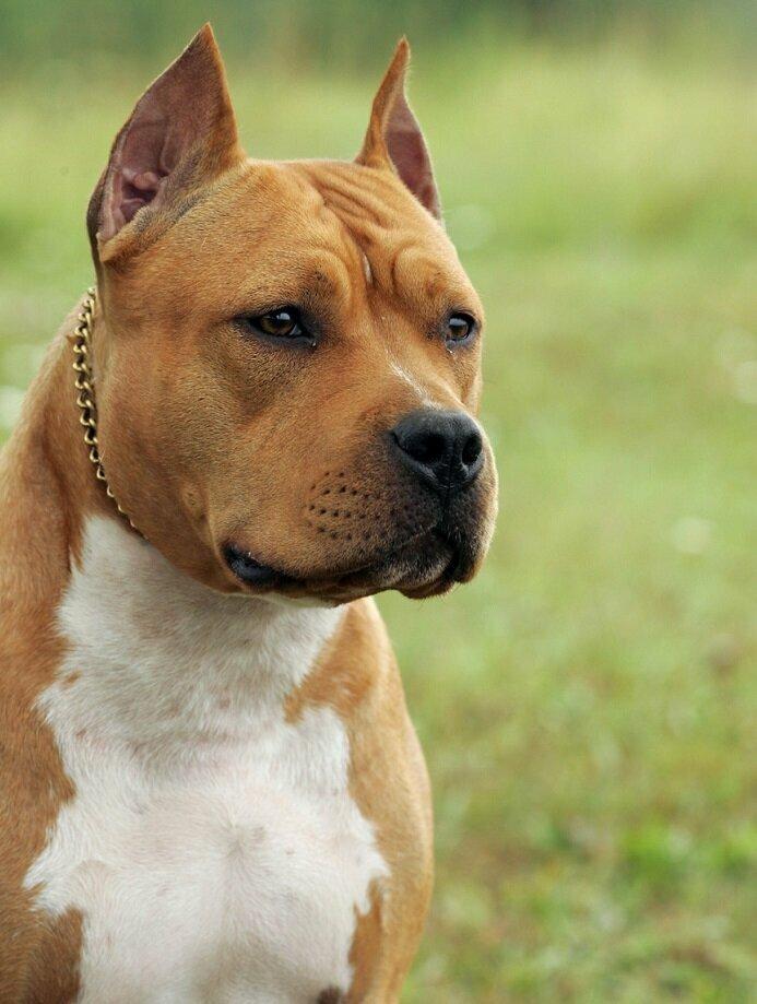 Топ 10 лучших бойцовских собак