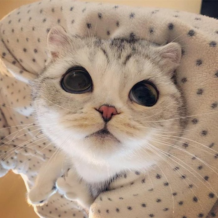 Топ-5 пород кошек с приплюснутой мордой