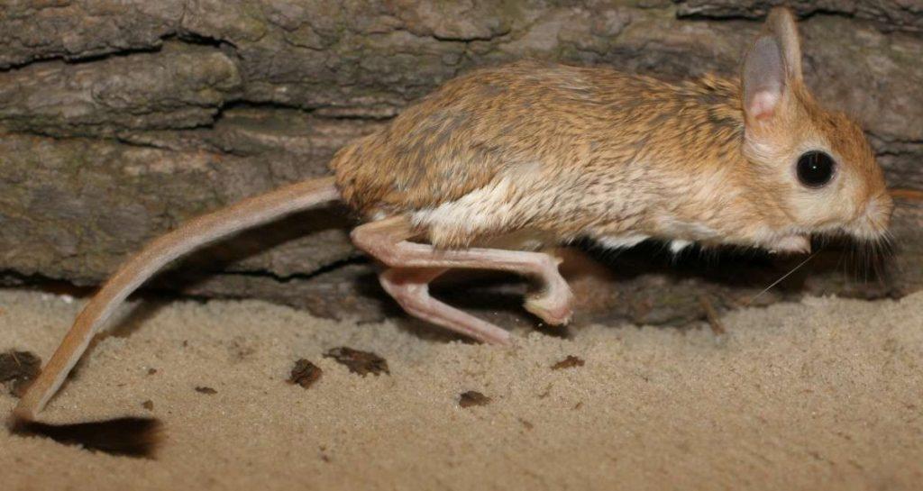 Тушканчик: фото, виды, особенности, образ жизни грызуна, интересные факты