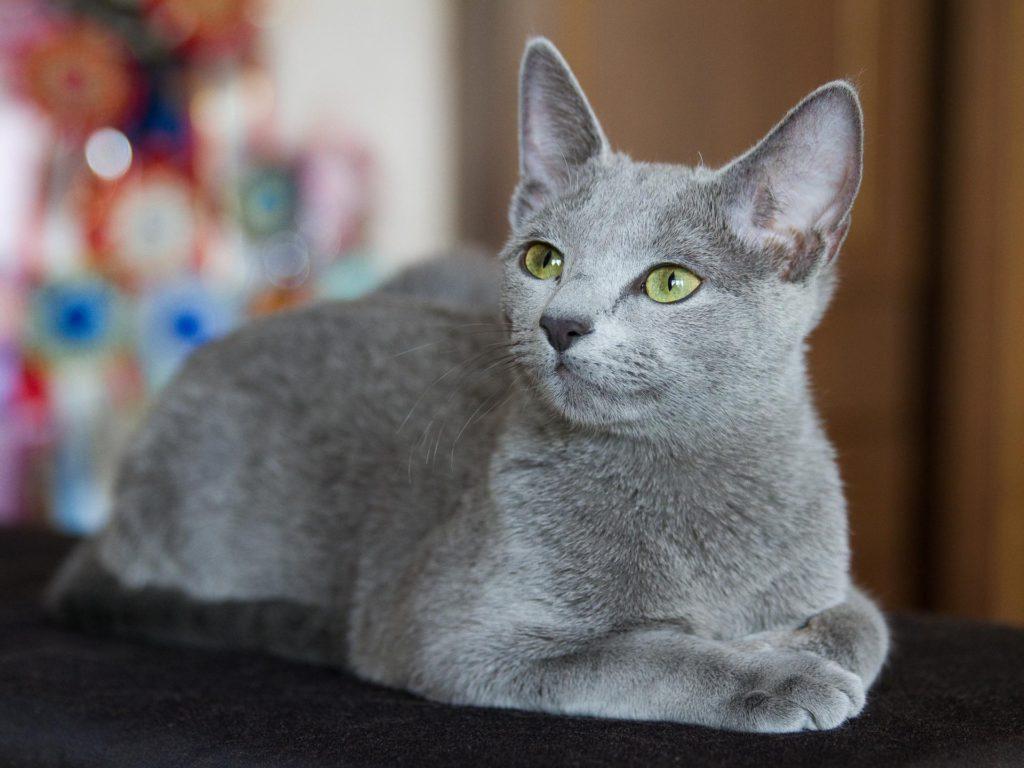 Русская голубая кошка ???? фото, описание, характер, факты, плюсы, минусы кошки ✔