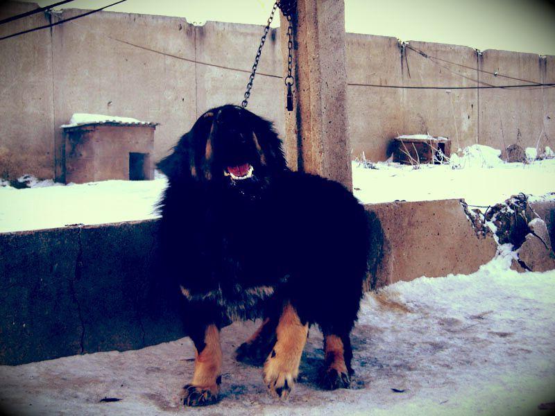 Монгольская овчарка — гордый банхар