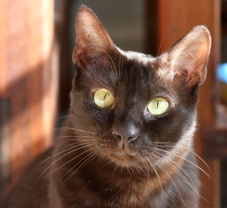 Гавана браун: описание породы с фото — pet-mir.ru