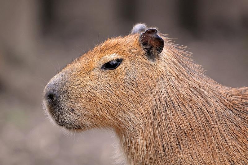Капибара - описание животного, где обитает и чем питается в природе