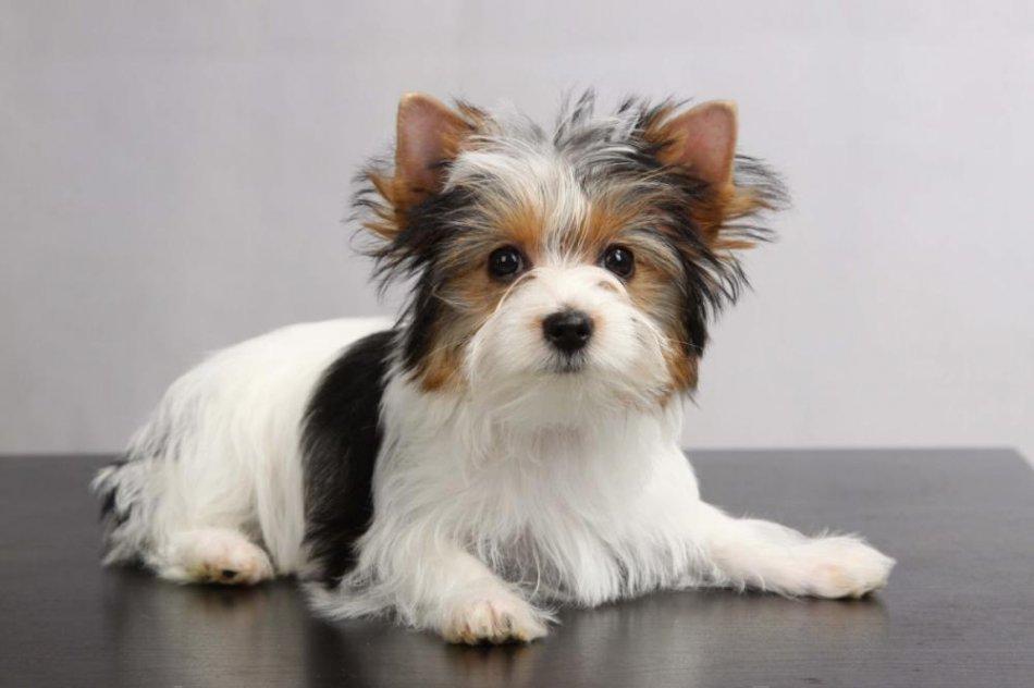 Бивер-йоркширский терьер: фото и стоимость собаки, уход и содержание
