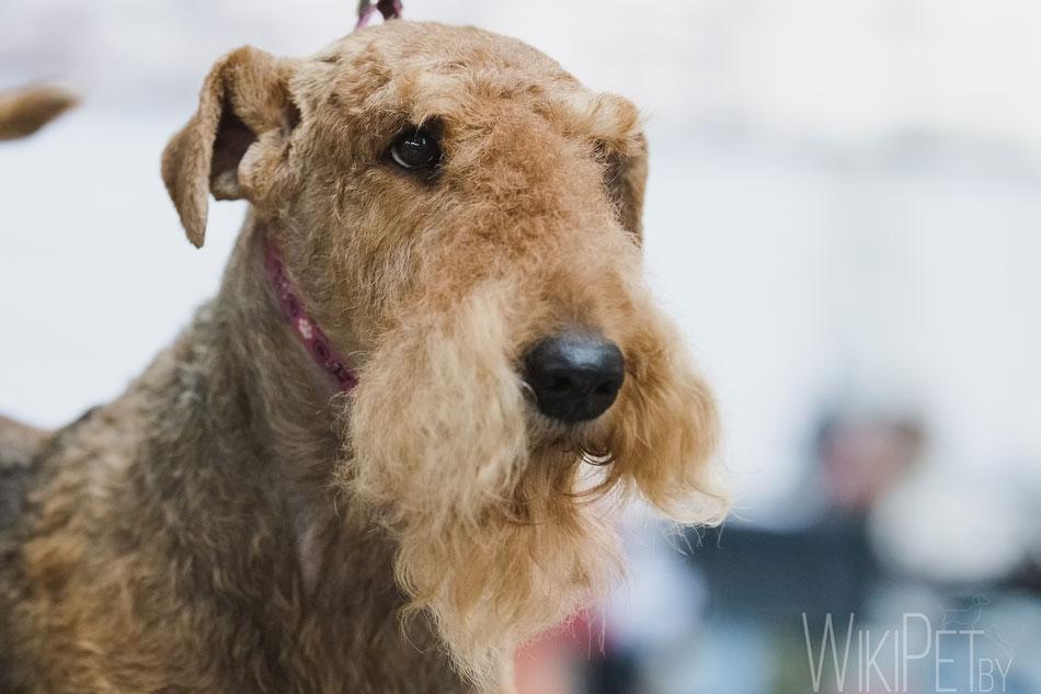 Эрдельтерьер собака описание