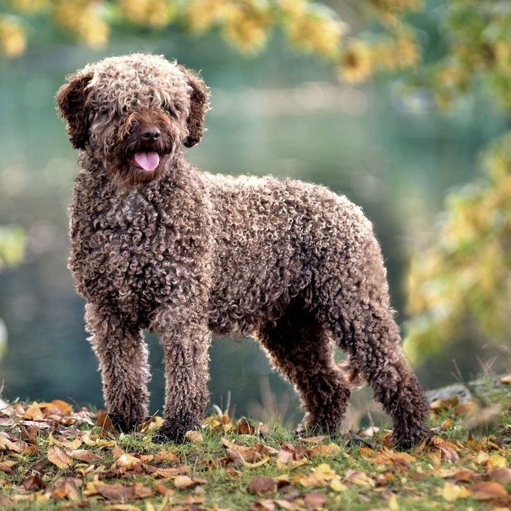 Маленькие пушистые собачки: список пород. породы маленьких пушистых собак с фото и кратким описанием