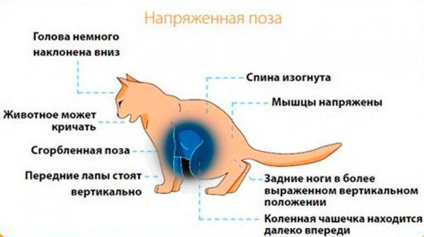 Идиопатический цистит кошек. обследование и лечение в беларуси