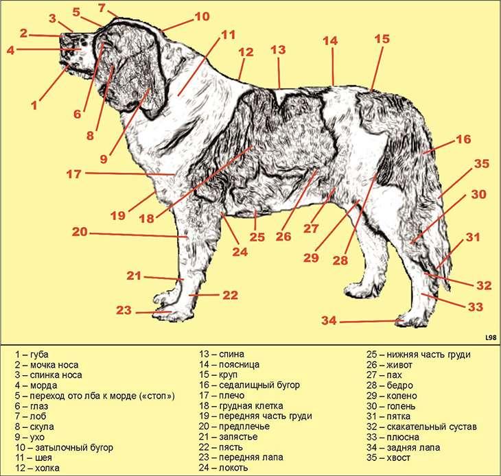 У собаки выпал глаз: причины и первая помощь