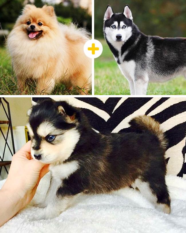 Метис хаски: описание и название помесей, характер собак