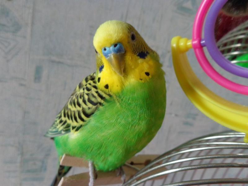 Как научить говорить волнистого попугая?