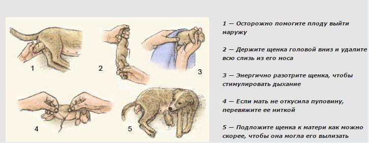 """Беременность у собак - признаки, продолжительность беременности у собак.  ветеринарная клиника """"зоостатус"""""""