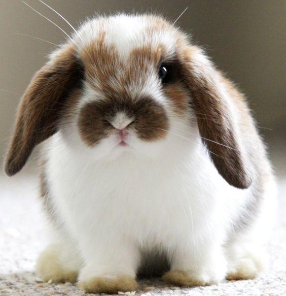 Кролики породы баран — достоинства и недостатки