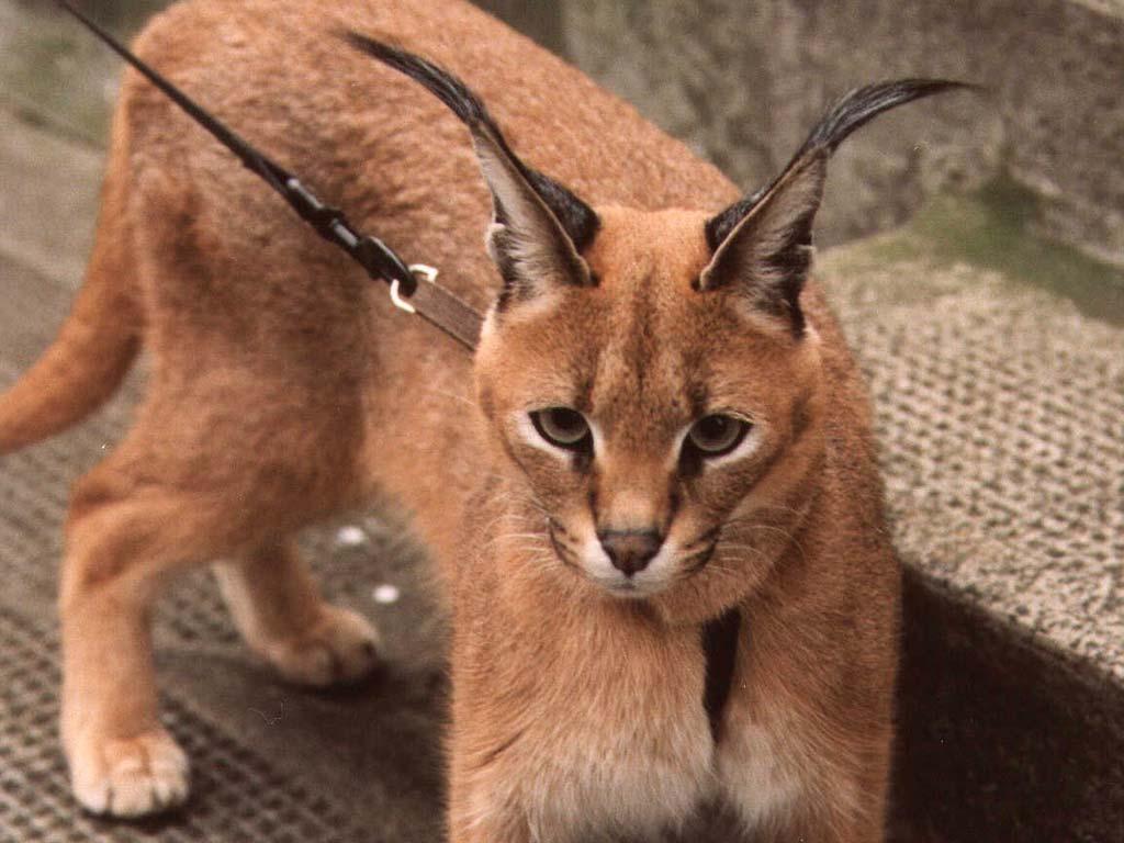 ᐉ 6 пород домашних кошек, похожих на рысь: фото и описание - kcc-zoo.ru
