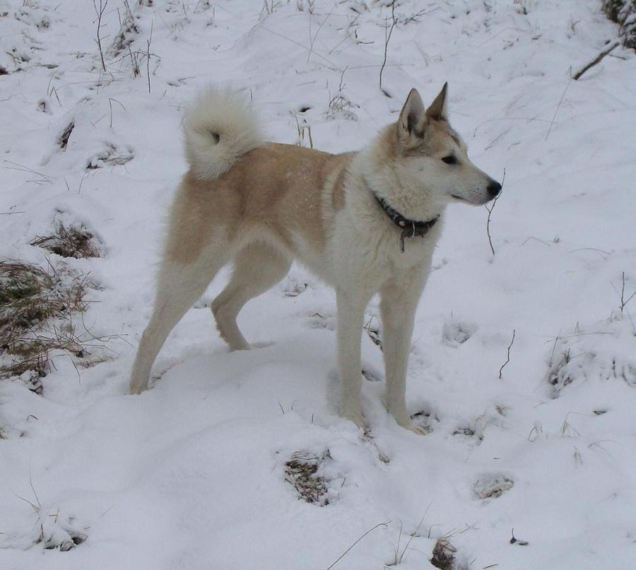 Западно-сибирская лайка — фото, описание породы собак, характер