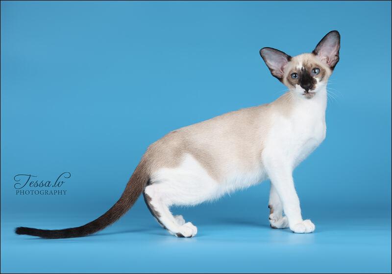 Сейшельская кошка: описание породы, характеристики, фото, правила ухода и содержания – petstory