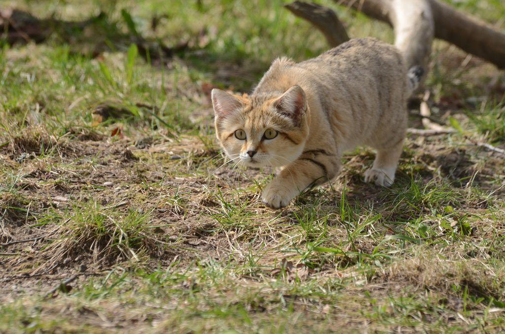 Барханный кот – как правильно ухаживать за таким экзотическим питомцем, интересные факты о породе