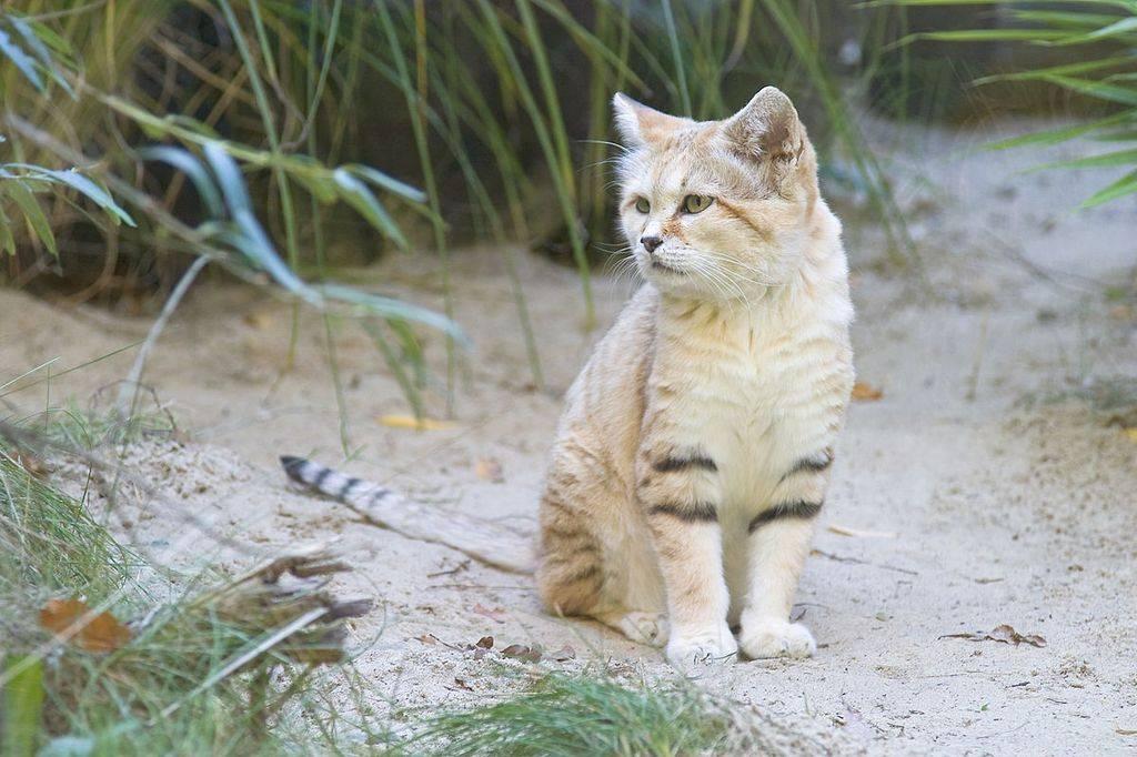 Барханный кот, или арабская песчаная кошка — описание, характеристики и интересные факты