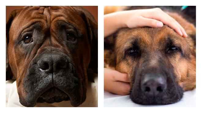 Как лечить насморк у собаки
