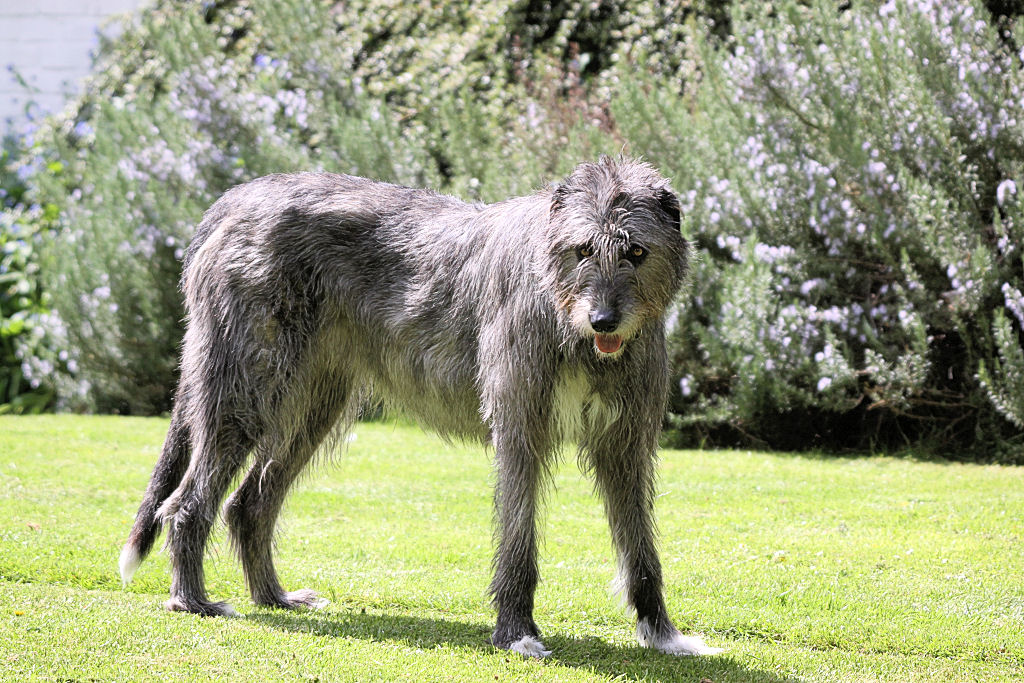 Ирландский волкодав – особенности содержания и ухода, возможные проблемы со здоровьем, похожие породы