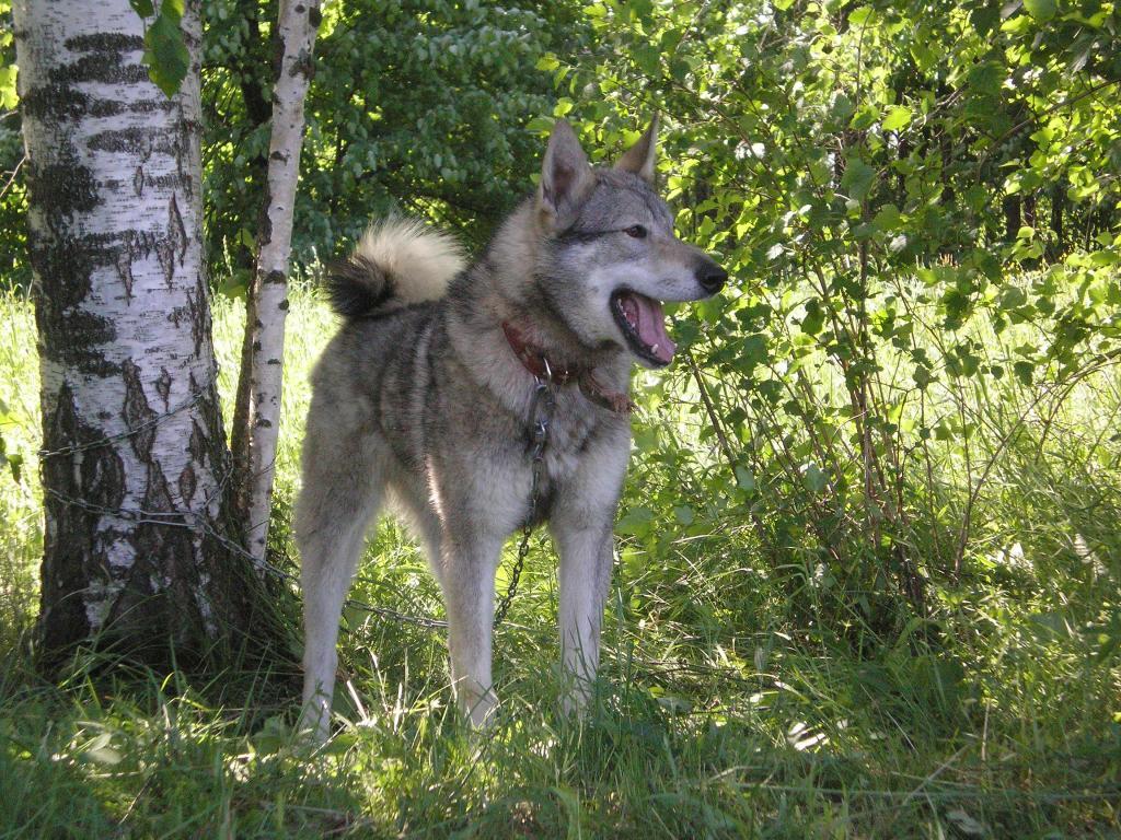 Западно-сибирская лайка: все о собаке, фото, описание породы, характер, цена