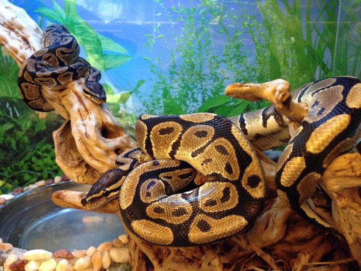 Как ухаживать за шаровидным питоном. питон королевский нормал (python regius) кормление королевского питона