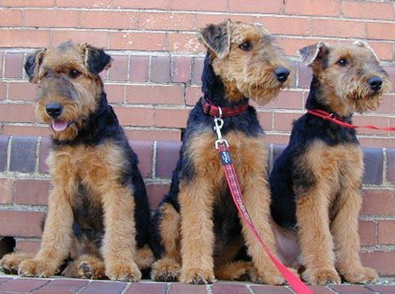 Эрдельтерьер: описание и характер породы собак