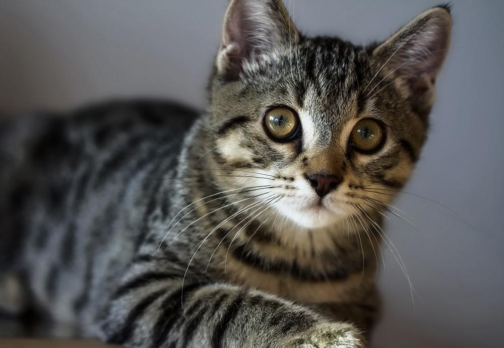 Американская жесткошерстная кошка: история происхождения, правила по уходу