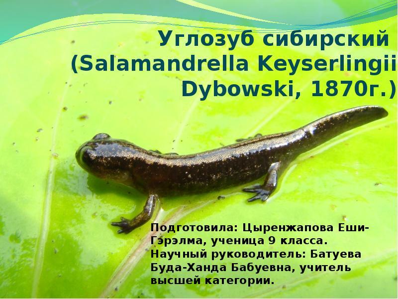 Сибирский углозуб. образ жизни и среда обитания сибирского углозуба   животный мир