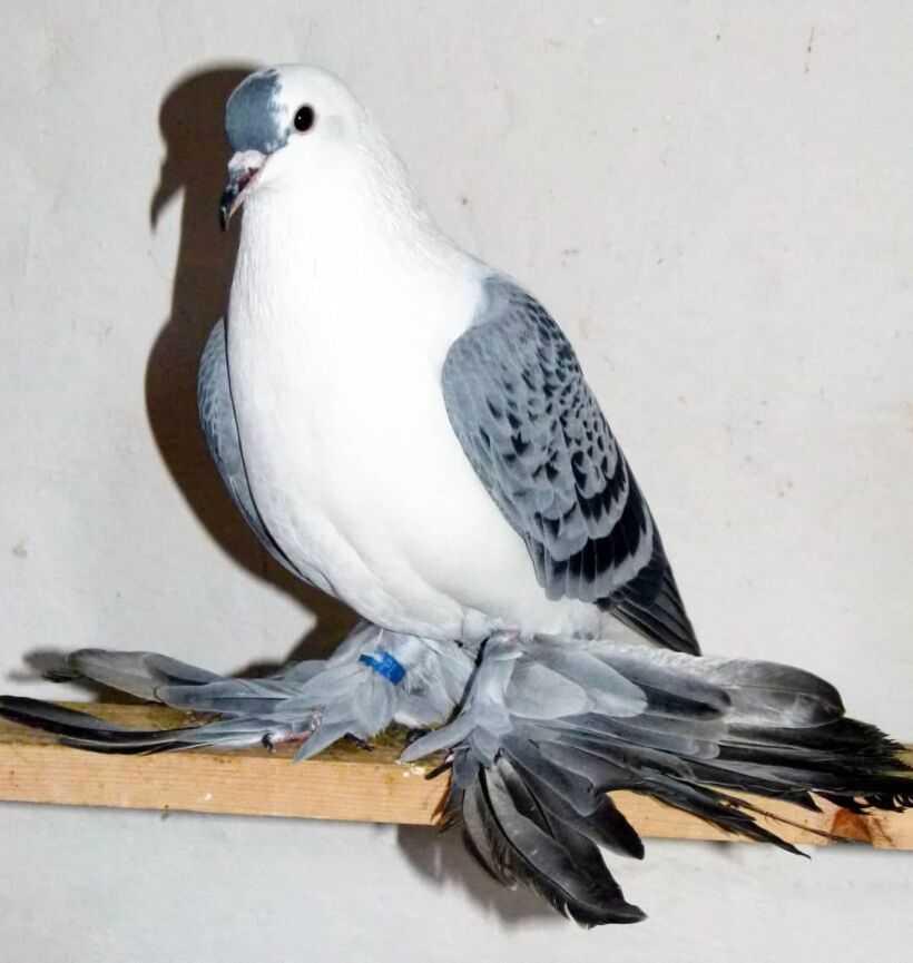 Необычные голуби. топ-10