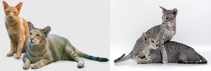 Гипоаллергенные породы кошек