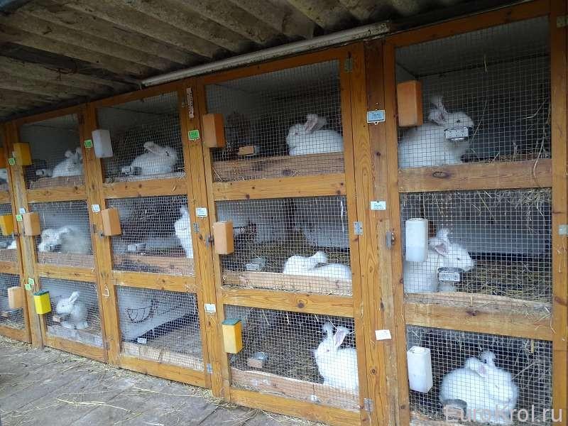 Разведение кроликов для начинающих в домашних условиях и на даче