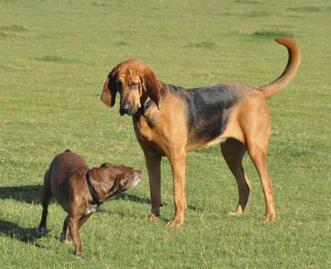 Грейхаунд — фото, описание породы собак, особенности ухода, отзывы