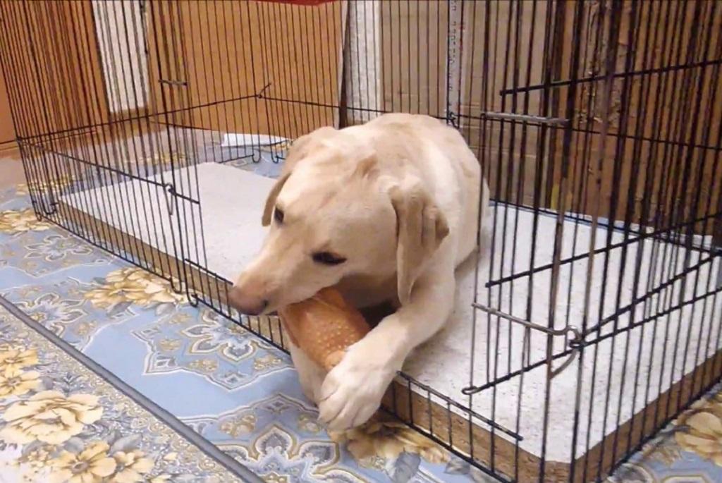 Собака бигль: особенности породы, характера, воспитания, ухода