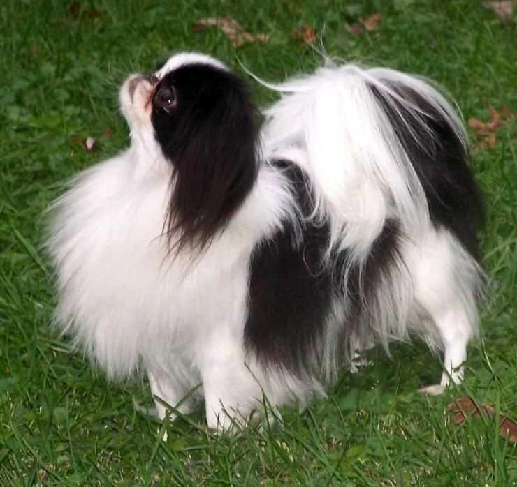 Вес щенка японского хина — излагаем по пунктам