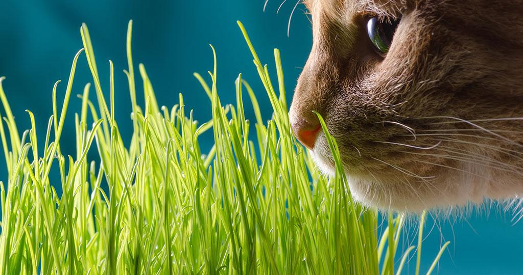 Почему кошки едят траву — список самых полезных и вредных растений для кошачьего организма + советы, как вырастить траву дома