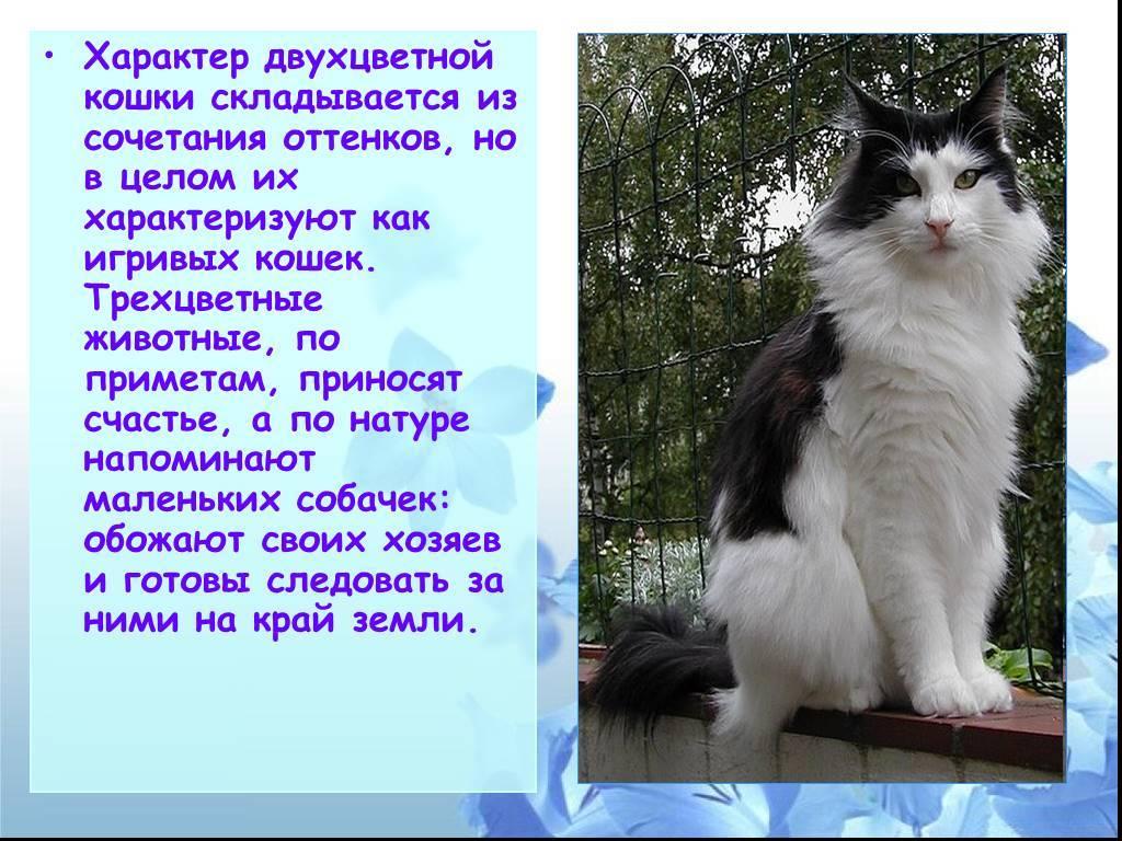 Трехцветная кошка в доме: приметы и суеверия, приносит ли счастье