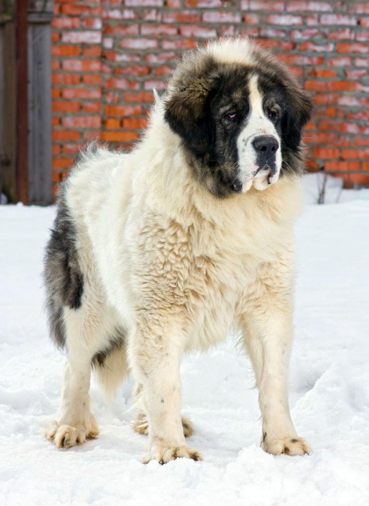 Отзывы владельцев о породе собак «тибетский мастиф»: характер питомцев и каким людям больше всего подходит
