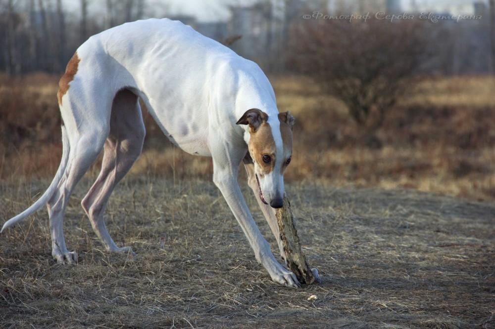 Австралийская борзая или кенгуровая собака: описание породы, фото