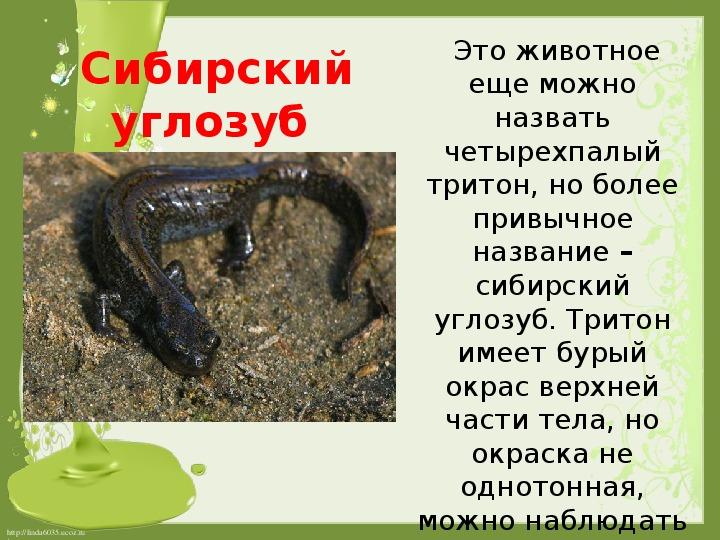 Сибирский углозуб – холоднолюбивый тритон