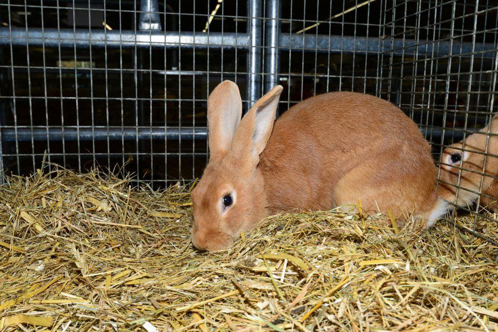 Бургундский кролик: описание породы, фото, содержание, разведение