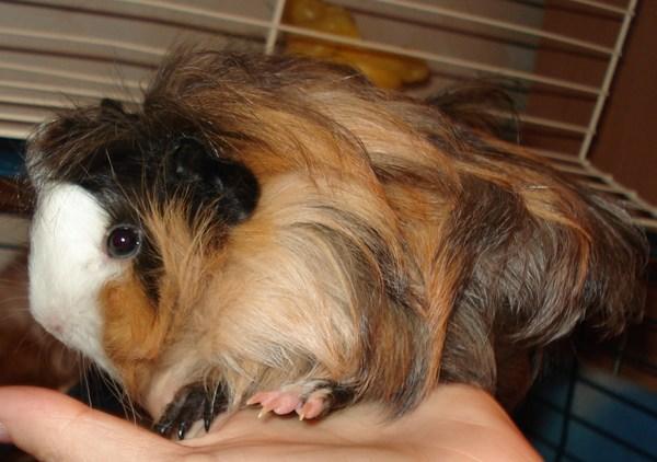 Как стричь когти морской свинке? когда нужно их подстригать? что нужно для стрижки когтей в домашних условиях?