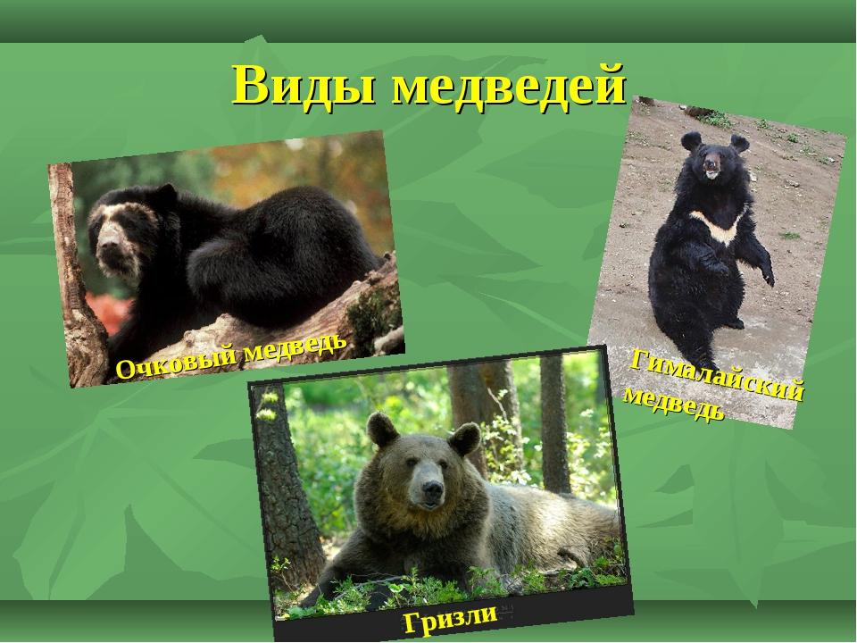 Очковый медведь (фото): как выглядит, где обитает, чем питается и интересные факты